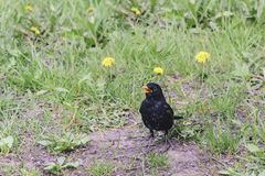 Bird blackbird with yellow eyes and yellow beak posing on green. Grass Stock Photos