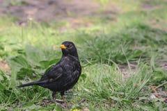Bird blackbird with yellow eyes and yellow beak posing on green. Grass Royalty Free Stock Photos