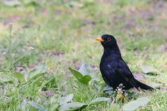 Bird blackbird with yellow eyes and yellow beak posing on green. Grass Stock Image