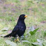 Bird blackbird with yellow eyes and yellow beak posing on green. Grass Royalty Free Stock Photo