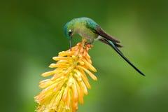 Bird with bloom. Wildlife Ecuador. Hummingbird Long-tailed Sylph eating nectar from beautiful yellow strelicia flower in Ecuador. America Stock Images