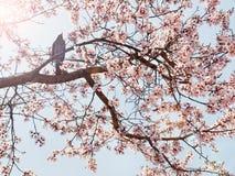 Bird on blooming sakura tree on sunny day Royalty Free Stock Image