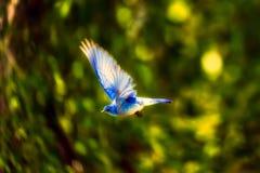 Bird, Blue Bird, Flying, Nature Stock Photos