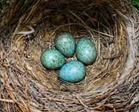 Bird blue colored eggs in a nest stock image