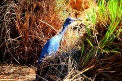 Bird with blue colors Stock Photo