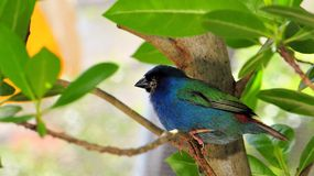 Bird, blue-faced parrotfinch. A very colorful bird standing on a tree branch in an aviary in Butterfly World, South Florida.  The Blue-faced Parrotfinch is found Stock Photography