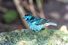 Bird with blue feathers sitting on stone. Bird, small cute animal with blue feathers sitting on stone on sunny summer day on blurred natural background. Wildlife Royalty Free Stock Photo