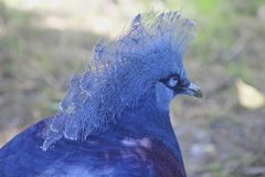 Bird of blue feathers Royalty Free Stock Photos