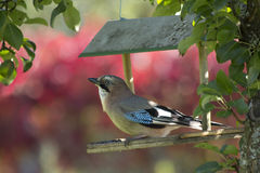 Bird blue Jay / Garrulus glandarius Royalty Free Stock Photo
