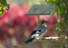Bird blue Jay / Garrulus glandarius Stock Photography