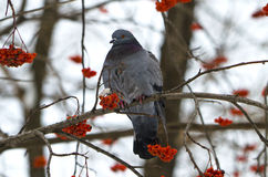 Bird a blue rock pigeon on a mountain Stock Image