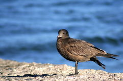 Bird by blue sea. Side portrait of black and brown feathered bird with blue sea in background Royalty Free Stock Image