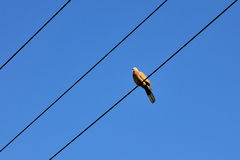 Bird and blue sky. The bird have a rest on the wire Stock Photo