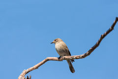 Bird in the blue sky Stock Images