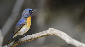 Bird, Blue-throated Flycatcher Cyornis rubeculoides Royalty Free Stock Photo