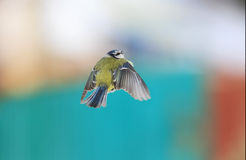 Bird blue tit flies in a Park in winter. Bird blue tit flies like the airplane forward Royalty Free Stock Photo