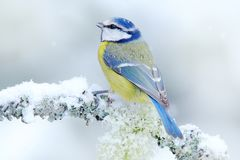 Bird Blue Tit in forest, snowflakes and nice lichen branch. Wildlife scene from nature. Detail portrait of beautiful bird, France,. Europe. First snow in nature royalty free stock photos