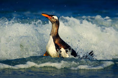 Bird in the blue waves. Gentoo penguin, water bird jumps out of the blue water while swimming through the ocean in Falkland Island Stock Photo