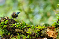 Bird-Blue and White Flycatcher Stock Photography