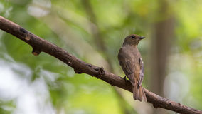Bird (Blue-and-white Flycatcher) on a tree Royalty Free Stock Photography