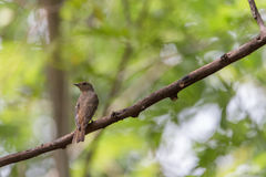 Bird (Blue-and-white Flycatcher) on a tree Stock Photos