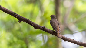 Bird (Blue-and-white Flycatcher) on a tree Royalty Free Stock Images