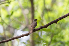 Bird (Blue-and-white Flycatcher) on a tree Royalty Free Stock Photo