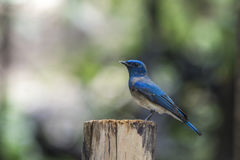 Bird (Blue-and-white Flycatcher) on a tree Stock Photography