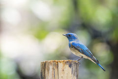 Bird (Blue-and-white Flycatcher) on a tree Stock Image