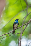 Bird (Blue-and-white Flycatcher) on a tree Royalty Free Stock Image
