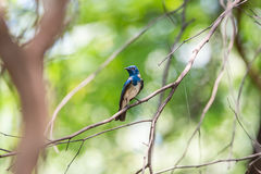 Bird (Blue-and-white Flycatcher) on a tree Stock Photo