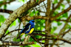 Bird, blue and yellow finch Stock Photo