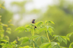 Bird is the Bluethroat sits high on a green tree Stock Photos