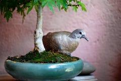 Bird in a bonsai pot Stock Photos
