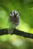 Bird Boreal omawl, Aegolius funereus, sitting on the tree branch in green forest background Stock Images