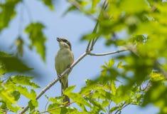 The bird - borlaug Royalty Free Stock Photo