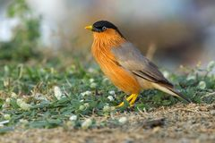Bird, Brahminy Starling (01). Shoot from leamphakbia nationalpark stock photo
