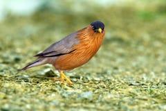 Bird, Brahminy Starling (02). Shoot from leamphakbia nationalpark stock photography