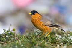 Bird, Brahminy Starling (03). Shoot from leamphakbia nationalpark royalty free stock photos