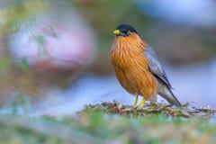 Bird, Brahminy Starling (04). Shoot from leamphakbia nationalpark royalty free stock photography