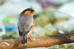 Bird, Brahminy Starling (07). Shoot from leamphakbia nationalpark Royalty Free Stock Photos