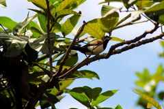 Bird on Branches. A bird standing on tree branches in a fresh morning with soft blue sky and white cloud in background Royalty Free Stock Image