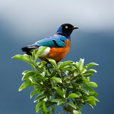 Bird on a branch. SUPERB STARLING.The orange-blue bird sits on a green branch on brightly dark blue background Royalty Free Stock Photography