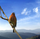 Bird on the branch. A close up of a forest bird on the branch Royalty Free Stock Photography