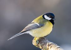 Bird on branch. A little bird sitting on a snow covered branch , blue tit ( Cyanistes caeruleus Stock Photo