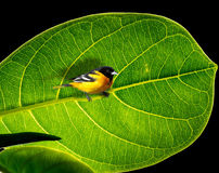 Bird on branch. Abstract photo and illusion with a black and yellow bird standing on the branch and with big leaf as a background Stock Photo
