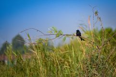 Bird on branch. The black Bird on branch Stock Images