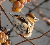 Bird. On a branch eating yellow grapes Stock Image
