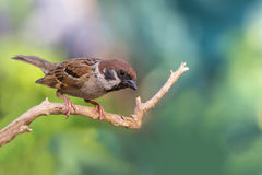 Bird on branch. Eurasian Tree Sparrow,beautiful bird on branch with colorful background,Passer montanus Royalty Free Stock Photos