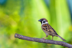 Bird on branch. Eurasian tree sparrowpasser montanus, beautiful bird on branch with in Thailand Stock Images